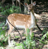 Fallow deer - female. Animal in nature - female fallow deer Stock Photography