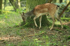 Fallow deer female stock photography