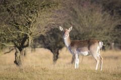 Fallow deer female in Autumn Royalty Free Stock Image