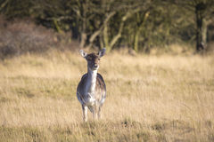 Fallow deer female in Autumn Royalty Free Stock Photos