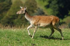 Fallow deer female Stock Image