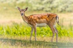 Fallow deer female. Fallow deer (Dama dama) female animal standing and looking at camera stock photos