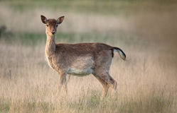 Fallow deer Female Stock Photos