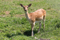Fallow deer. A female of fallow deer grazing in the meadow royalty free stock image