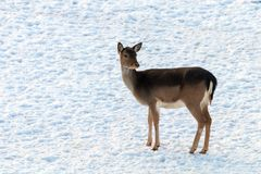 Fallow deer female snow winter Dama Dama. Wildlife stock image