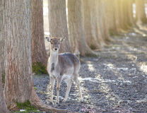 Fallow deer. Female of fallow deer standing beside tree and looking at camera Royalty Free Stock Images