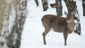 Fallow deer female in winter stock footage