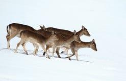 Fallow deer females Royalty Free Stock Images
