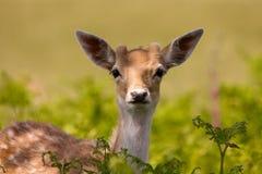 Fallow Deer & Ferns. A young fallow buck deer poke his head out amongst the ferns Stock Photography