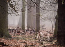 Fallow deer in foggy Winter forest landscape Royalty Free Stock Images