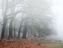 Fallow deer in foggy Winter forest landscape. Landscape of forest in fog during Winter Autumn Fall with fallow deer roaming stock photography
