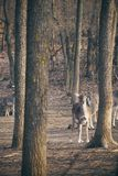 Fallow deer in the forest. Photo of a Fallow deer in the forest stock photos