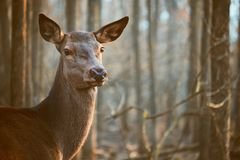Fallow deer in the forest. Photo of a Fallow deer in the forest royalty free stock photography