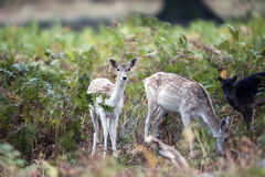 A fallow deer in the forest bracken Royalty Free Stock Photography