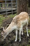 Fallow deer in the forest. Deer in the park. Unedged animal Beautiful portrait of a deer. Beauty of nature. Deer on the farm stock photos