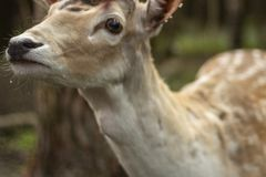 Fallow deer in the forest. Deer in the park. Unedged animal Beautiful portrait of a deer. Beauty of nature. Deer on the farm stock images