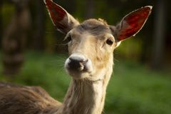 Fallow deer in the forest. Deer in the park. Unedged animal Beautiful portrait of a deer. Beauty of nature. Deer on the farm stock image