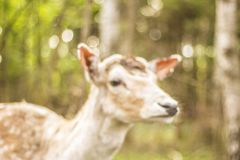 Fallow deer in the forest. Deer in the park. Unedged animal Beautiful portrait of a deer. Beauty of nature. Deer on the farm royalty free stock image