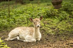 Fallow deer in the forest. Deer in the park. Unedged animal Beautiful portrait of a deer. Beauty of nature. Deer on the farm stock photo