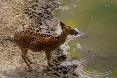 Fallow deer in the forest. In natural environment stock image