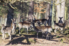 Fallow deer in the forest Stock Image