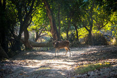 Fallow deer into the forest Stock Image