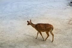 Fallow deer in the forest. In natural environment stock photo