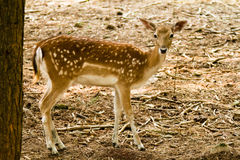Fallow deer in forest Stock Photography