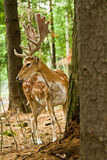 Fallow deer in forest Royalty Free Stock Images