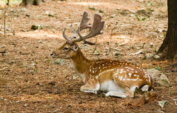Fallow deer in forest Royalty Free Stock Photography