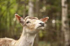 Fallow deer in the forest. Deer in the park. Unedged animal Beautiful portrait of a deer. Beauty of nature. Deer on the farm royalty free stock photography