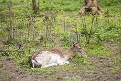 Fallow deer in the forest. Deer in the park. Unedged animal Beautiful portrait of a deer. Beauty of nature. Deer on the farm royalty free stock images