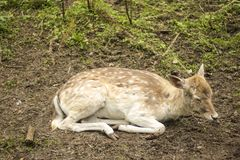 Fallow deer in the forest. Deer in the park. Unedged animal Beautiful portrait of a deer. Beauty of nature. Deer on the farm stock photography
