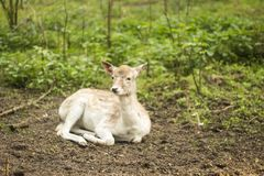 Fallow deer in the forest. Deer in the park. Unedged animal Beautiful portrait of a deer. Beauty of nature. Deer on the farm royalty free stock photo