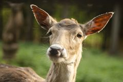 Fallow deer in the forest. Deer in the park. Unedged animal Beautiful portrait of a deer. Beauty of nature. Deer on the farm royalty free stock photos