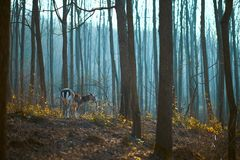 Fallow deer in the forest. Photo of a Fallow deer in the forest stock image