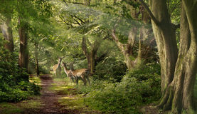 Fallow Deer in the Forest stock photo