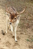 Fallow deer in the forest Stock Photos
