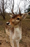Fallow deer in the forest Royalty Free Stock Image