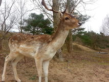 Fallow deer in the forest Royalty Free Stock Images