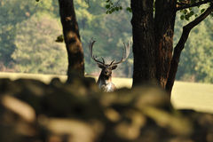Fallow deer with forrest in background. Fallow deer in wood with forrest in background Royalty Free Stock Image