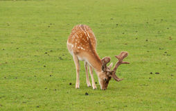 Fallow deer grazing Royalty Free Stock Photo