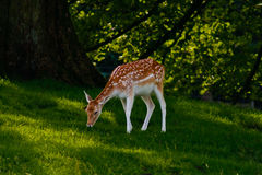 Fallow deer grazing in field