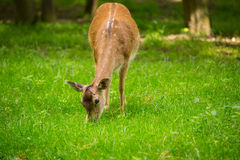 Fallow deer when grazing Stock Photo