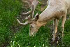 Fallow deer grazing Royalty Free Stock Photography