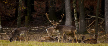 Fallow. Deer grazing in a meadow near the forest Royalty Free Stock Photography