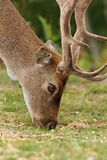 Fallow deer grazing on meadow Royalty Free Stock Photos