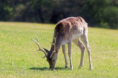Fallow deer grazing on a meadow. Male fallow deer grazing on a green meadow in woodland stock image