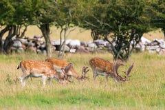 Fallow deer grazing Royalty Free Stock Photos