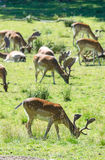 Fallow deer grazing in vertical view Stock Images